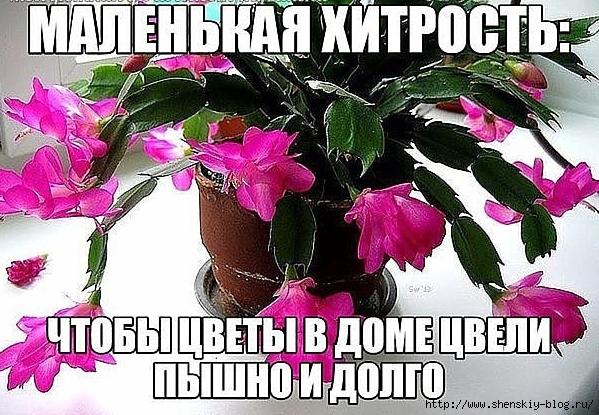 4121583_malenkaya_xitrost_chtoby_cvety_v_dome_cveli_pyshno_i_dolgo__kaifzona_ru (599x415, 273Kb)