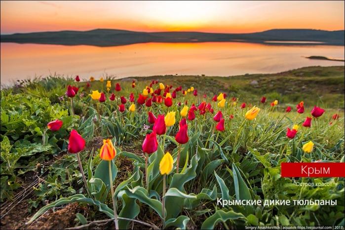 Crimean-wild-tulips.-Magically-beautiful-01 (700x466, 417Kb)