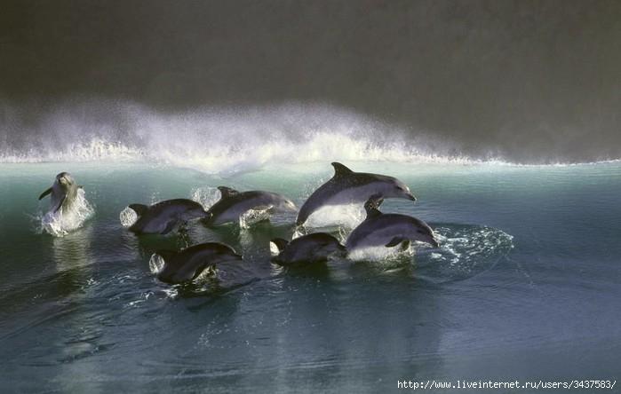 Танцы дельфинов/3437583_tantsydelfinov2 (700x444, 145Kb)