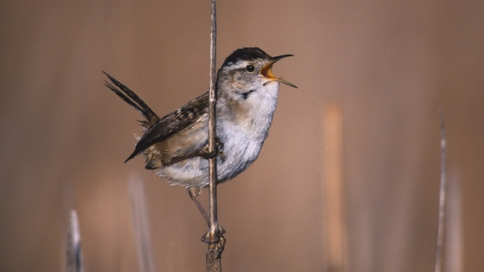 2714816_Animals___Birds_____A_singing_bird_081852_ (700x393, 157Kb)