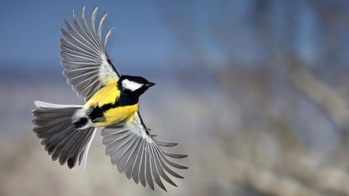 2714816_Animals___Birds_Beautiful_pictures_tits_108239_ (700x393, 138Kb)