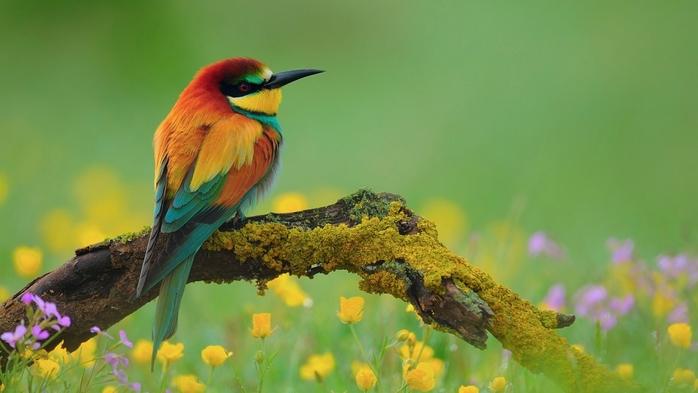 2714816_Animals___Birds_European_beeeater_bird_096734_ (700x393, 167Kb)