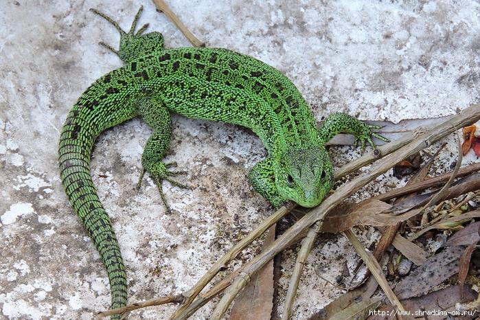 зелёный дракон (3) (700x466, 428Kb)