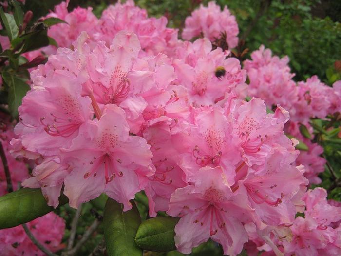 rododendron_foto_07 (700x525, 410Kb)
