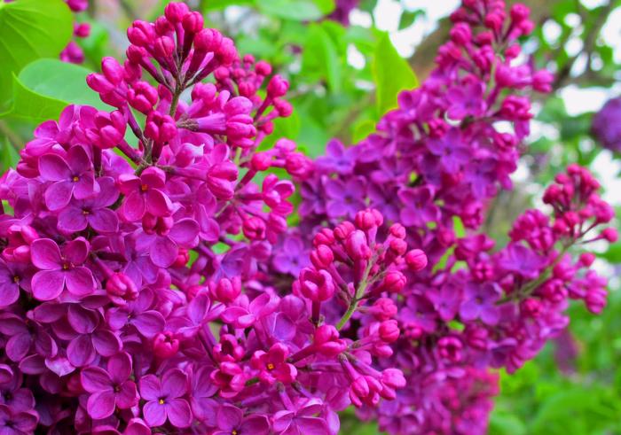 Lilacs (700x491, 480Kb)