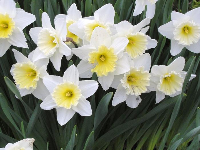 narcissus_flowers (700x525, 392Kb)