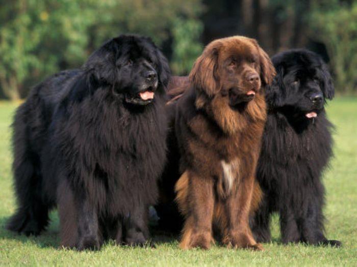 3906024_newfoundlanddogs (700x525, 48Kb)