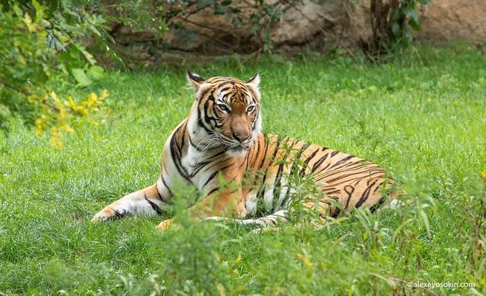 Виды тигров и другие интересные факты о могучем хищнике