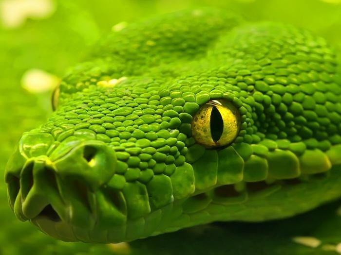 Змей/5692288_ws_Snake__Green_Emerald_Boa_1024x768 (700x525, 101Kb)