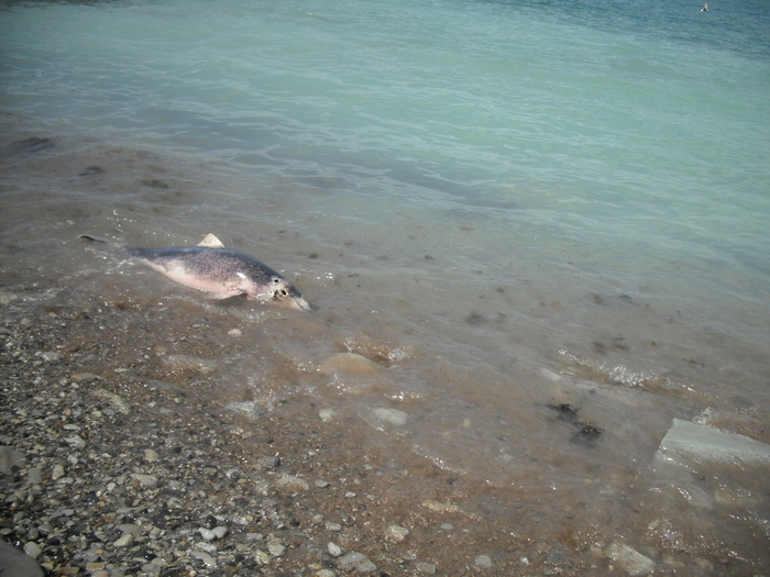 Дельфин на берегу (700x525, 139Kb)