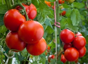 pomidori (340x250, 39Kb)