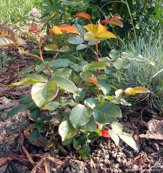 Выращивание из черенков кустов роз (2) (564x600, 397Kb)