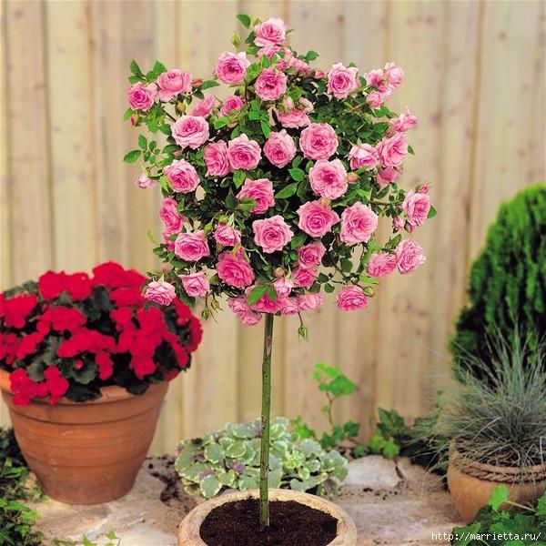 Выращивание из черенков кустов роз (10) (600x600, 284Kb)