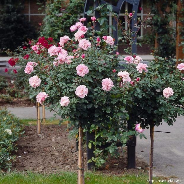 Выращивание из черенков кустов роз (12) (621x620, 287Kb)