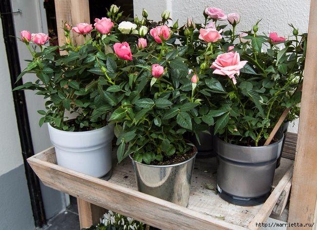 Выращивание из черенков кустов роз (14) (650x471, 226Kb)