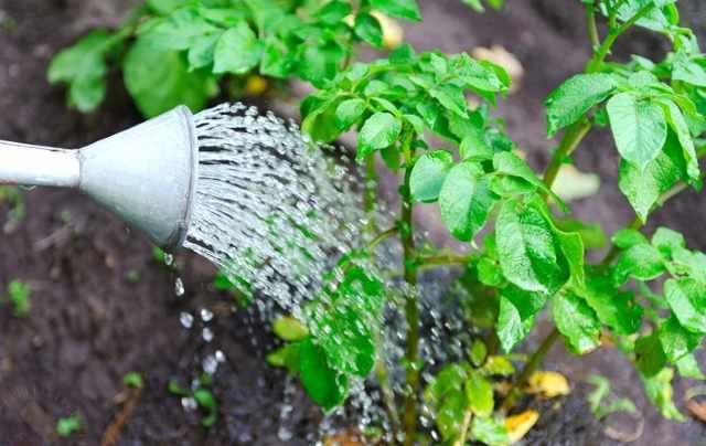полив растений в огороде/4512595_poliv_kartofelja (640x404, 33Kb)