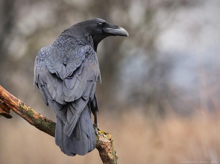 Ворон и ворона   это разные виды птиц
