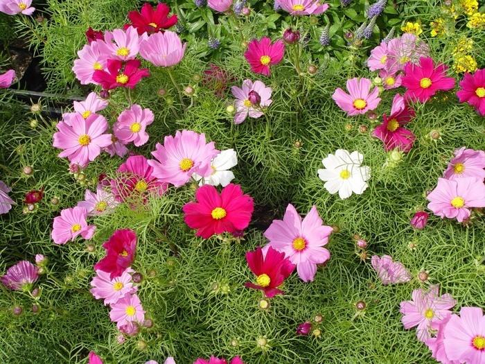 "alt=""Какие летние цветы можно сеять прямо в почву?""/2835299_Kakie_letnie_cveti_mojno_seyat_pryamo_v_pochvy (700x525, 259Kb)"