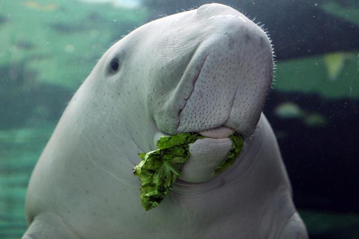 dugong-004 (700x466, 307Kb)