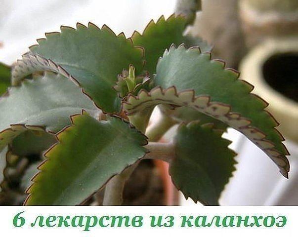 kalanhoe (603x480, 48Kb)