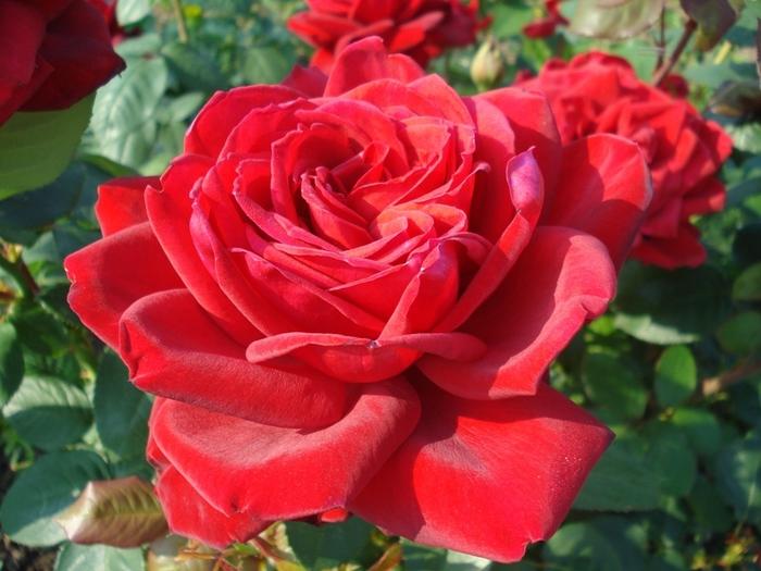 6108242_roses_16 (700x525, 156Kb)