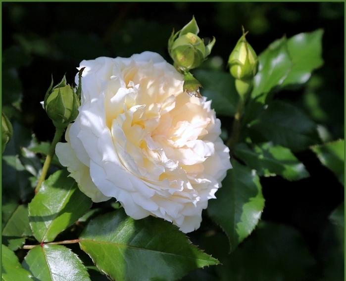 6108242_roses_15 (700x568, 239Kb)