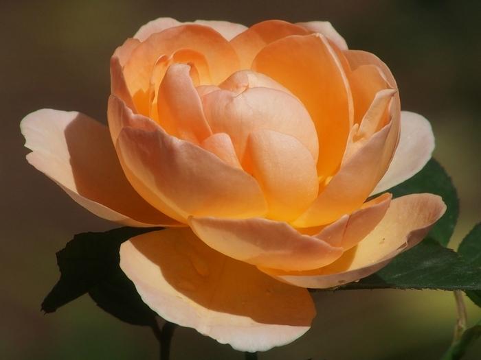 6108242_roses_19 (700x525, 199Kb)