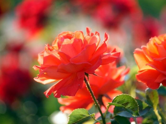 6108242_roses_18 (700x525, 75Kb)