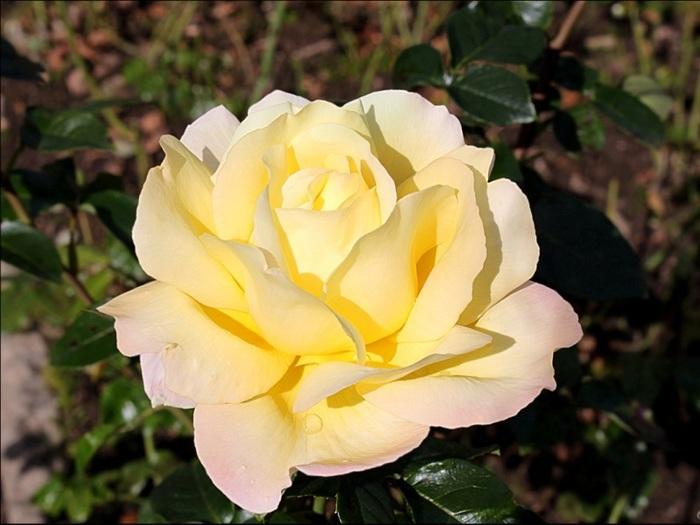6108242_roses_8 (700x525, 96Kb)