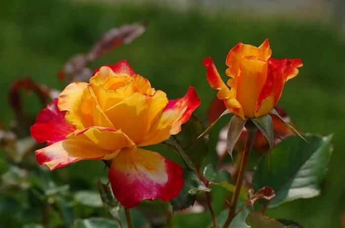 6108242_roses_12 (700x463, 104Kb)