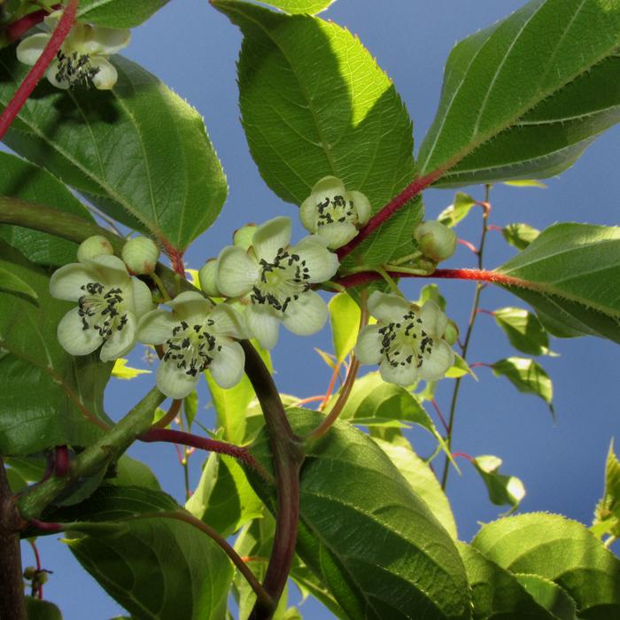 цветёт актинидия, киви дальневосточный/683232_aktinidiya700 (700x700, 469Kb)