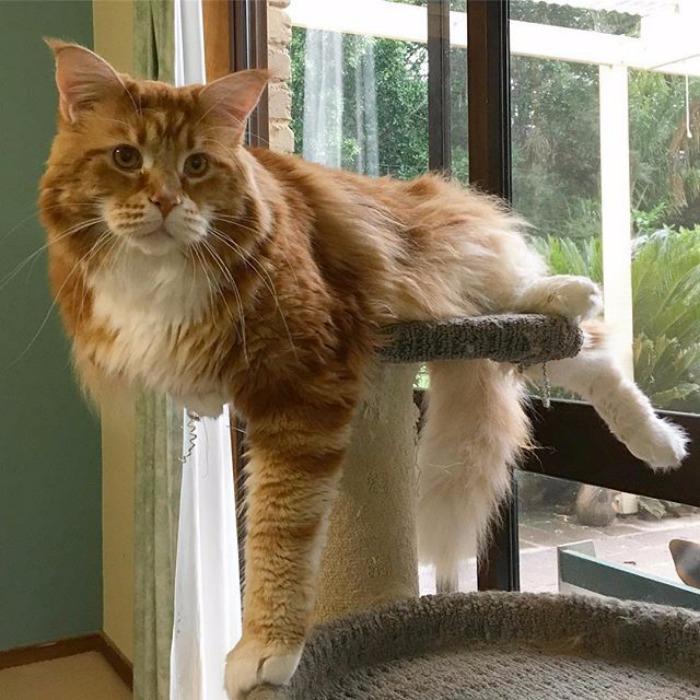 кот омар самый длинный кот в мире 3 (700x700, 414Kb)