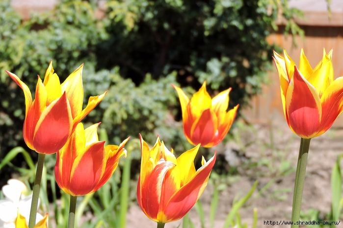 цветы, июнь 2017 (24) (700x466, 267Kb)