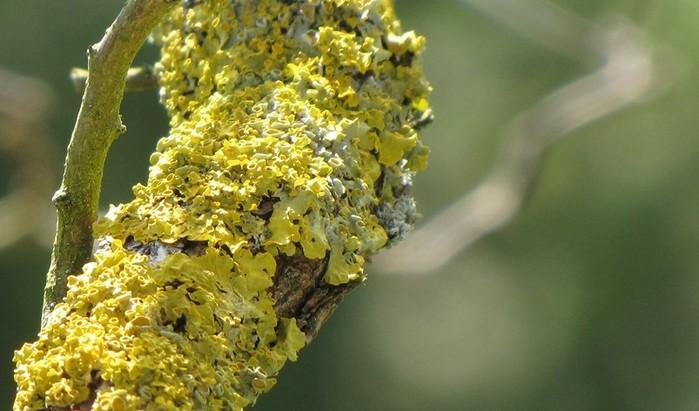 Что такое лишайник? Микобионт   симбиоз грибов и водорослей (бактерий)