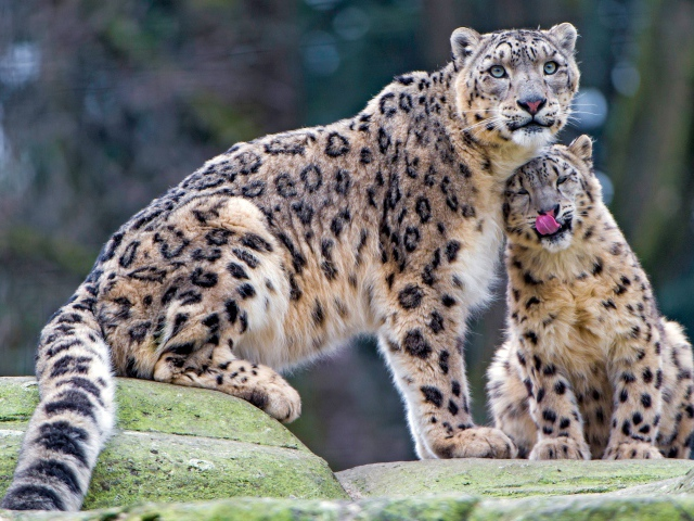 2017Animals___Wild_cats_Large_snow_leopard_with_cub_114884_29 (640x480, 184Kb)