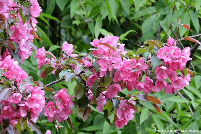цветы, июнь 2017 (51) (700x466, 355Kb)