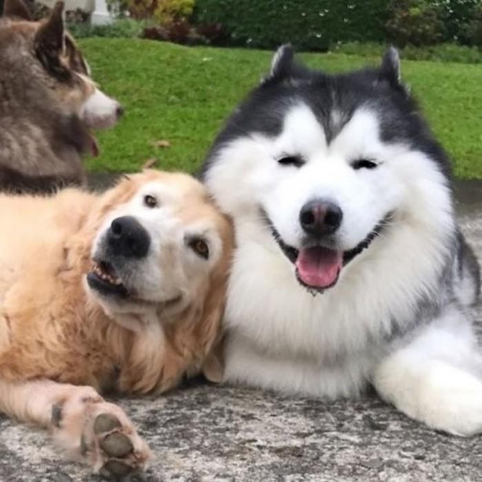 Мару — самый счастливый хаски в Instagram