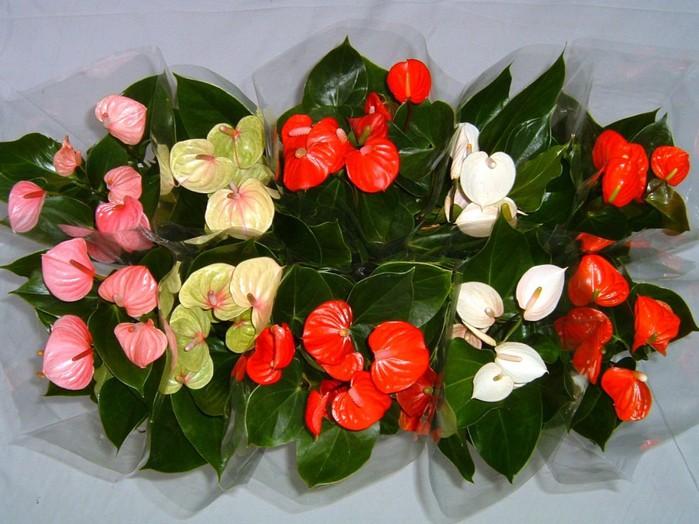 Цветок красный женское счастье