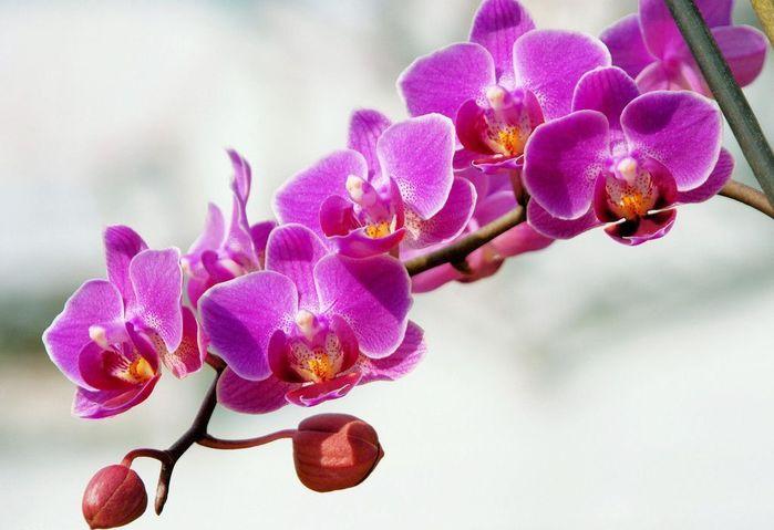 6175292_orhideja100 (700x479, 46Kb)
