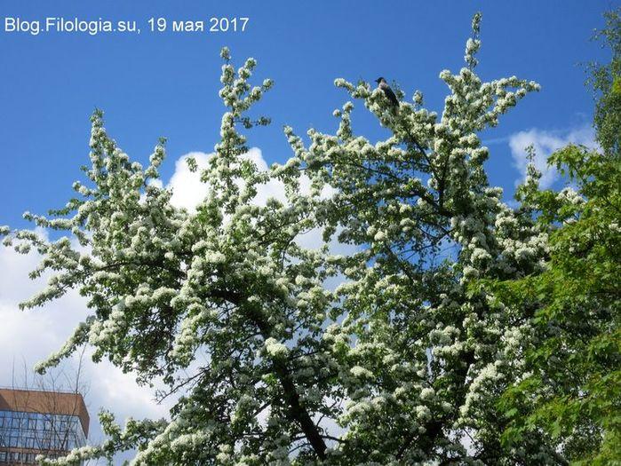 Дикие яблони в цветы (700x525, 111Kb)