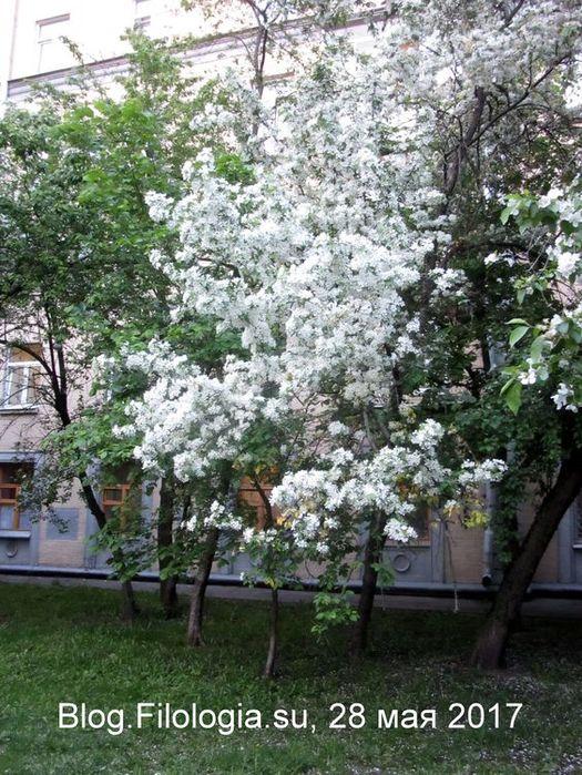 Цветение диких яблонь. Москва, май 2017 (525x700, 118Kb)