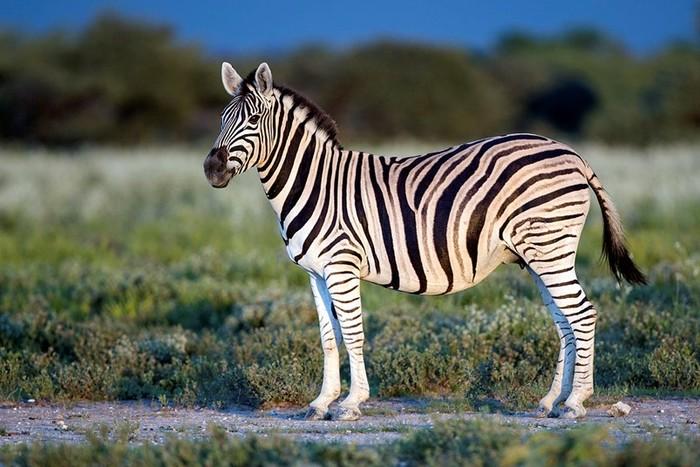 Откуда родом полосатые зебры?