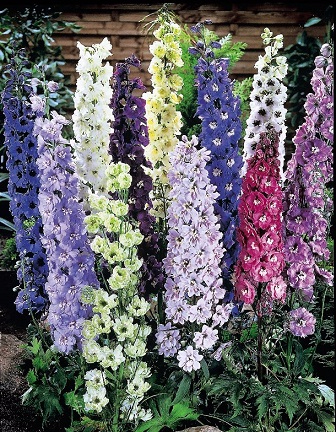 delphiniums-mixed-reduced-new (336x432, 285Kb)