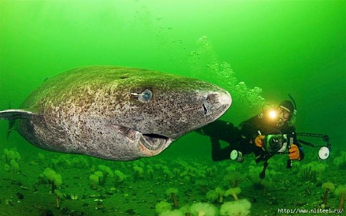 гренландская акула/3925073_F201208171705051197810922 (700x438, 226Kb)