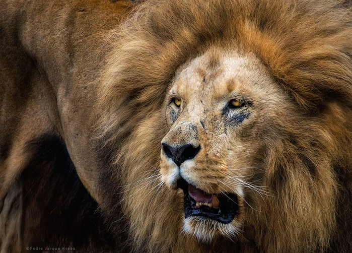 Педро Хорке - Животные (Лев)