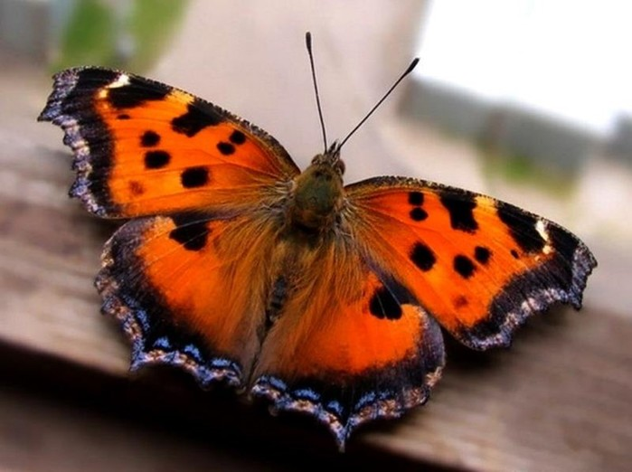 Интересные и удивительные факты о бабочках