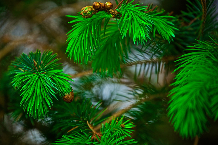 PineBranches_Green_440730 (700x466, 420Kb)