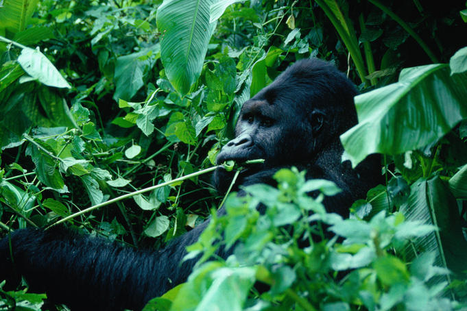 Democratic-Republic-of-Congo_Gorilla_9Q50AR (681x454, 258Kb)