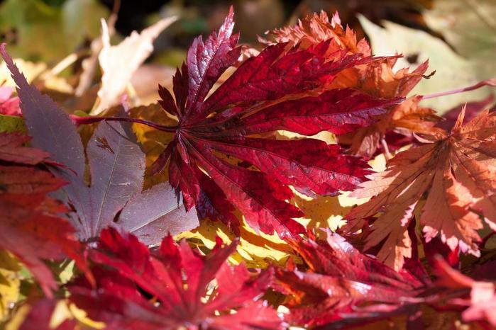 d_53027_autumn-close-up-fall-leaves (700x466, 59Kb)