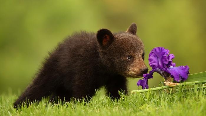 medved-cvetok-priroda (700x393, 61Kb)